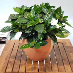 Buy House Plant Online Office Plants Suppliers In Dubai Plants Online